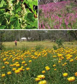 Top left: Chenopodium erosum, not previously recorded within Kosciuszko National Park, and possibly the first native chenopod recorded in Australian alpine vegetation. Top right: Stylidium armeria. Bottom: Xerochrysum subundulam