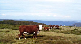 Cattle grazing, Bogong High Plains, Alpine National Park.