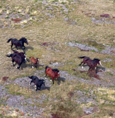 Surveying Brumbies from the air.