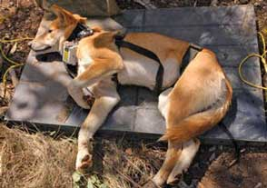 Ready to be released from the restraining board, this dingo has been fitted with a satellite-tracking collar to gather movement information that ultimately may help in the management of wild dog populations. Picture: Andrew Claridge.