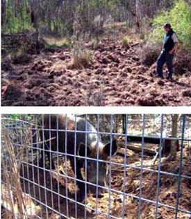 No guesses why trapping is needed - feral pig damage typical of that found along kilometres of the Snowy River.