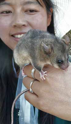 Haijing Shi (PhD student, University of NSW ADFA campus) with one of the new possums from a site near Cabramurra.