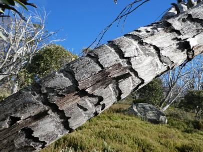 Beetle damage leading to dieback. Perisher - J.Ward-Jones