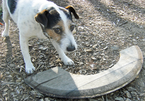 dogwithboomerang