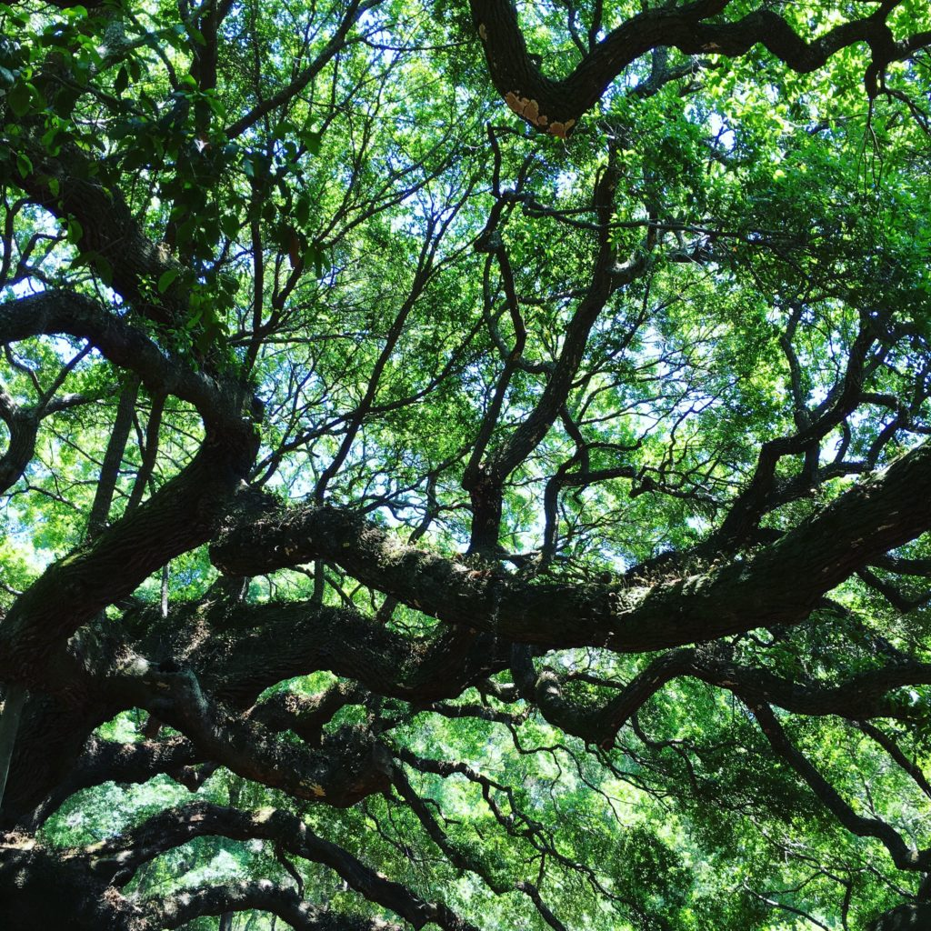 Looking up at the heavy branches.