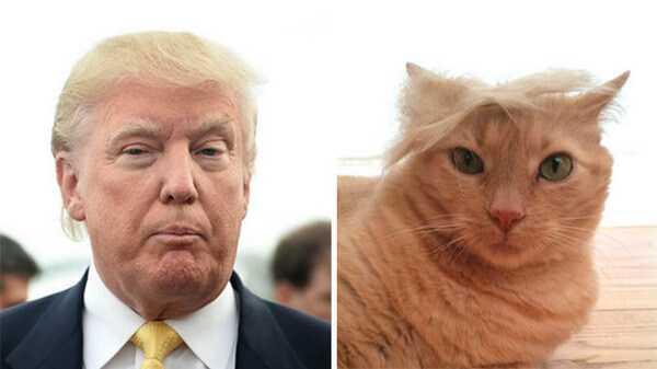 Image result for cats that look like donald trump