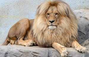 luxurious lion leon 1