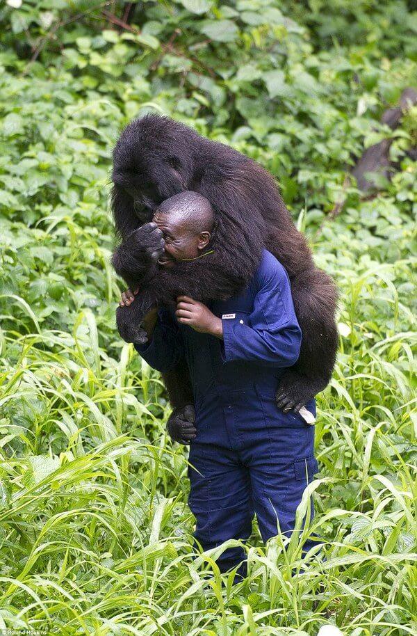 Gorillas and their caretakers 8
