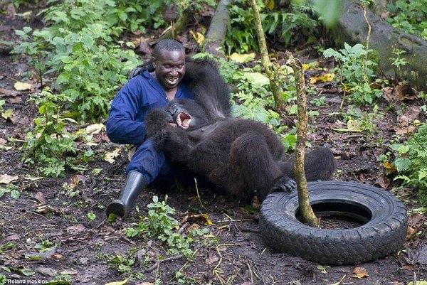 Gorillas and their caretakers 9