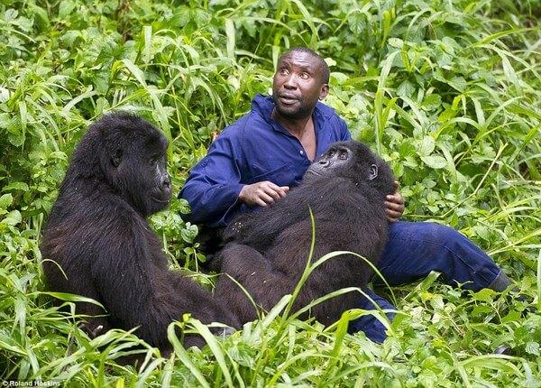 Bond Between Endangered Gorillas And Their Caretakers