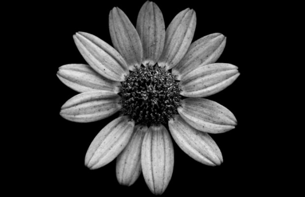 Jason McGroarty Takes Black And White Flowers Photos To Show The     Jason McGroarty Takes Black And White Flowers Photos To Show The Beautiful  Symmetry Of Nature