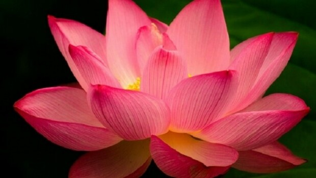 The Lotus Flower And Its Beautiful Story And Meaning