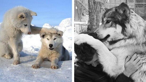 29 Cute Wolf Pictures That Will Melt Your Heart A Little