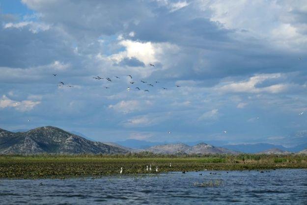skodar-lake-birds2
