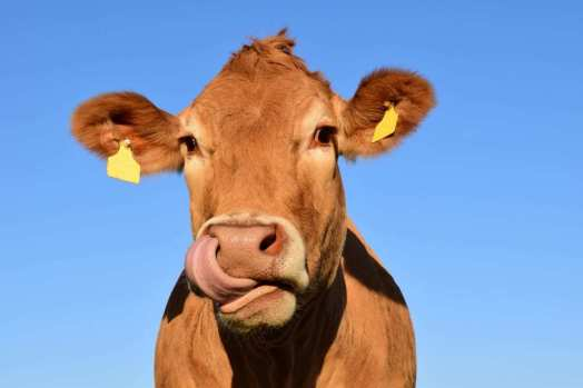 nature sky animal cow pasture livestock peaceful mammal close calf bull head tongue ruminant benefit from milk cow brown swiss cow head dairy cow cattle like mammal frontal image nose picking
