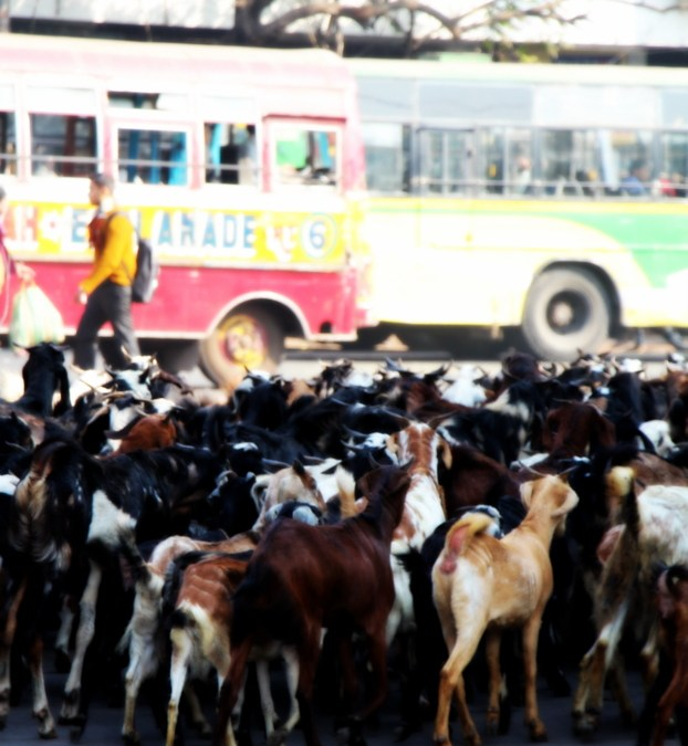 Goats on our roads