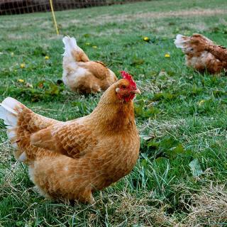 Free Range Chickens thebackyardchickenfarmer.com