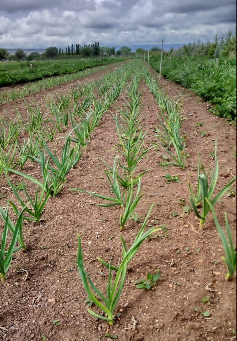 Young Garlic Plants Growing Under Stormy Skies in Western Colorado at Hummin' Bird Farms of Hotchkiss, Colorado