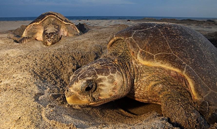 Desove de varias especies de tortugas marinas en Los Cabos y alrededores, otro gran atractivo eco-turístico