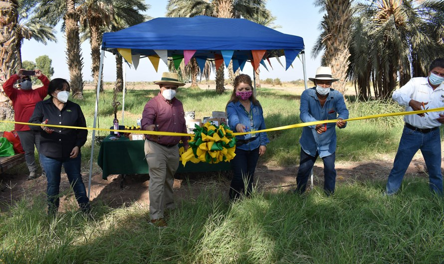 Baja California State University joint effort with date producer takes next step: The first harvest