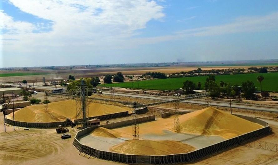 Incrementa rendimiento en cosecha de Trigo del Valle de Mexicali: Secretaría de Agricultura y Desarrollo Rural