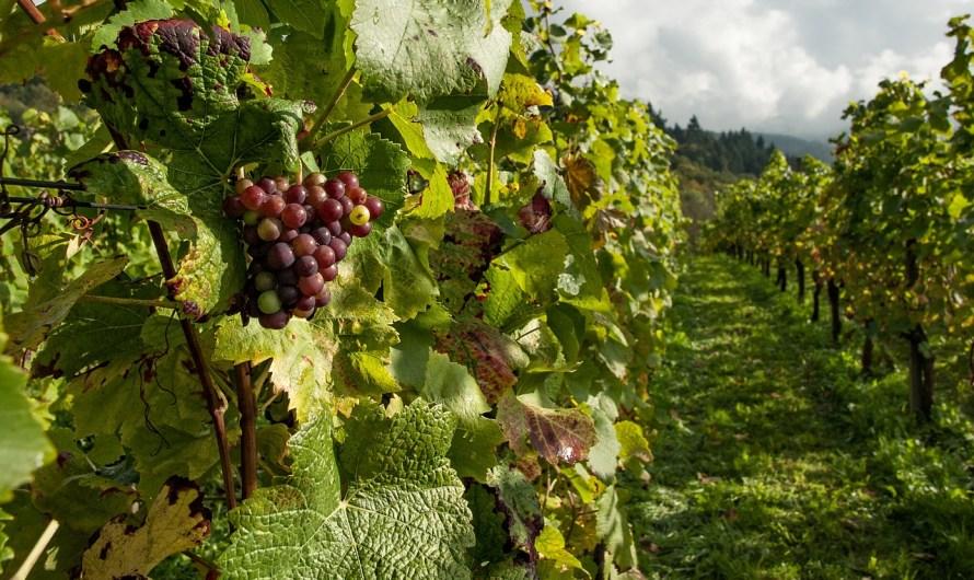 Mas de 250 empresas vitivinícolas asistirán a Congreso Mundial en Baja California: Escobedo Carignan