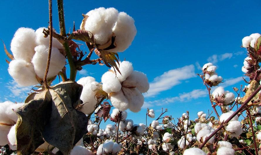 Delcaran a Baja California libre de plagas en cultivo algodonero, el siguiente reto es la comercialización