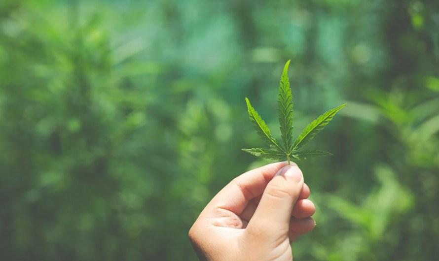 Legalizar cannabis, lo que sí o no debe hacerse, analiza catedrático en Derecho de CETYS Campus Mexicali