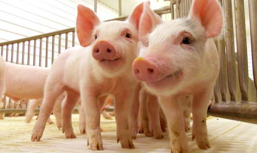 """Activa México plan de """"Bioseguridad Integral"""" ante la amenaza de la Peste Porcina Africana (PPA)"""