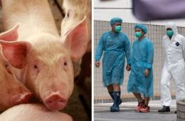African Swine Flu Suspected in Bali as 888 Pigs Found Dead in Denpasar, Badung and Tabanan