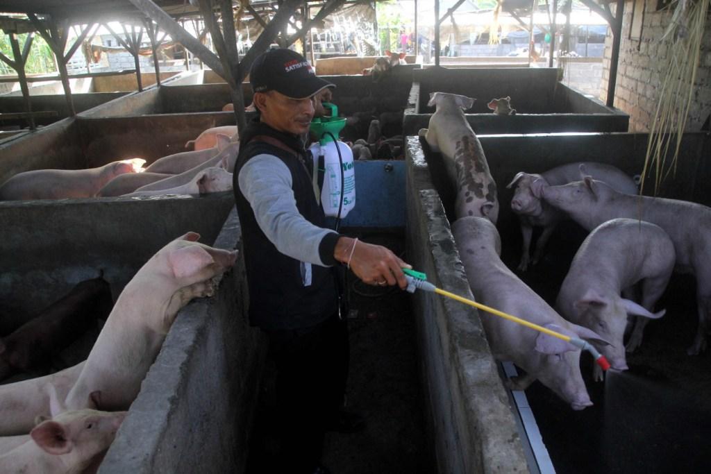 afircan swine fever in bali pigs