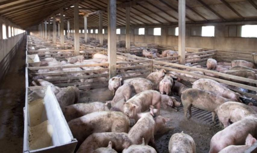 bali official takes back african swine fever comment
