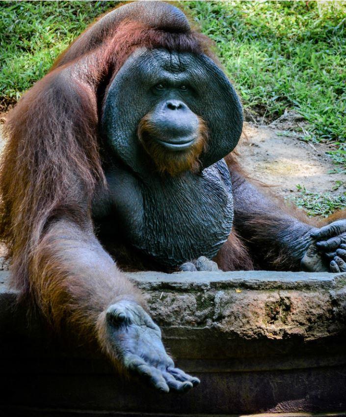 bali orangutan