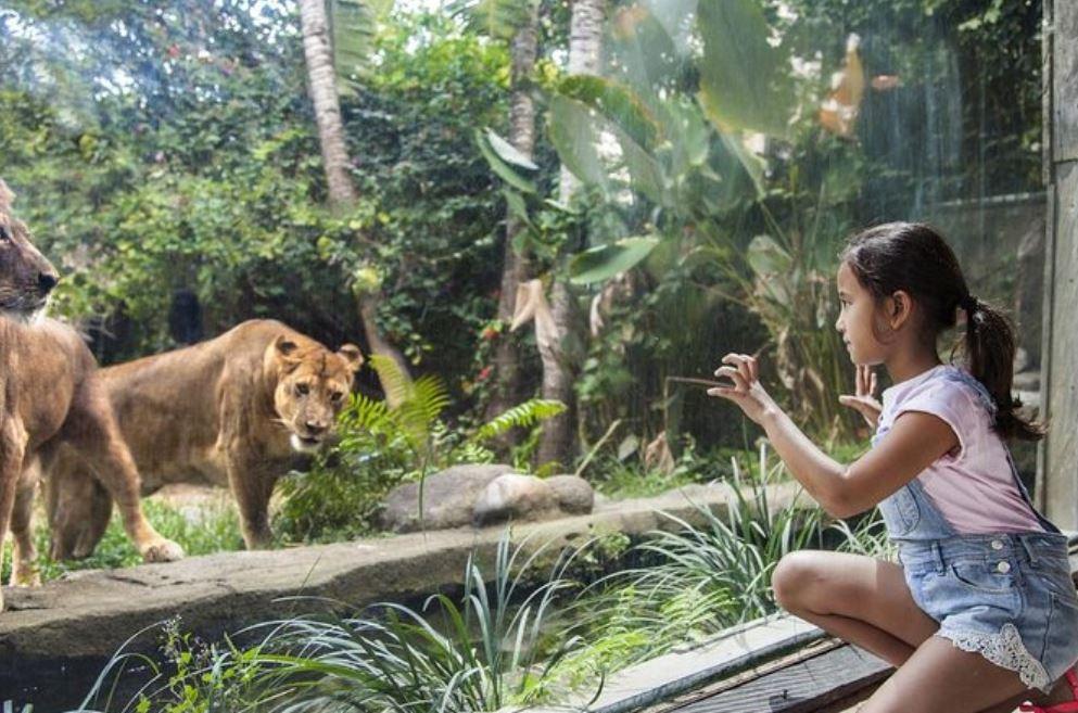 lions at bali zoo