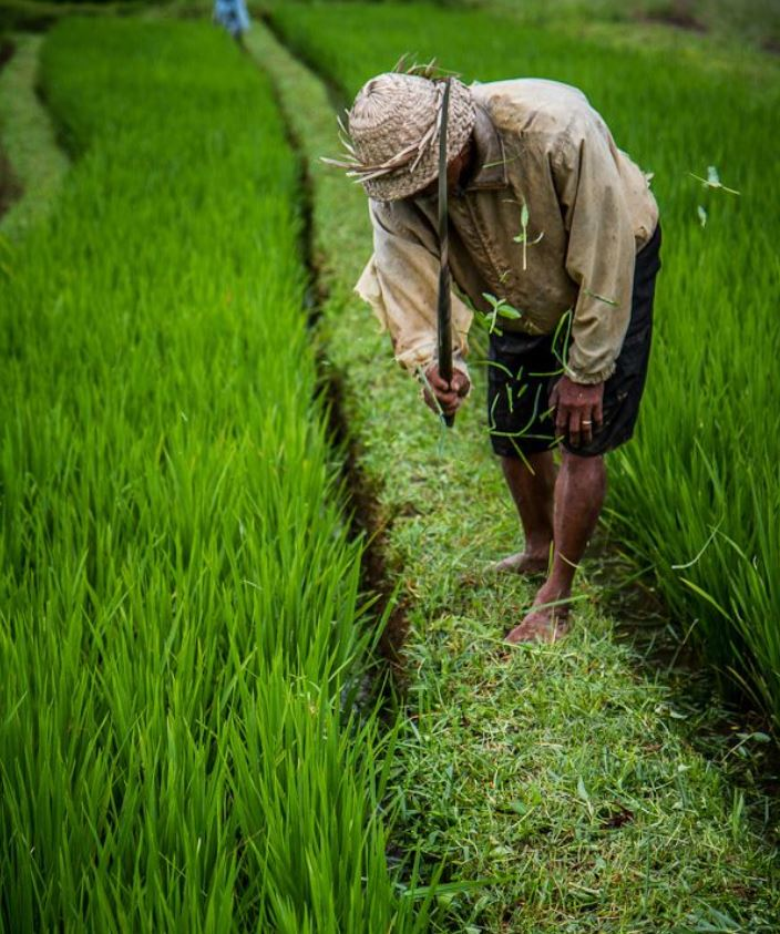 bali rice field worker