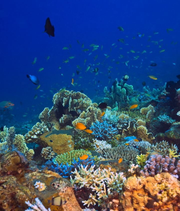 bali coral