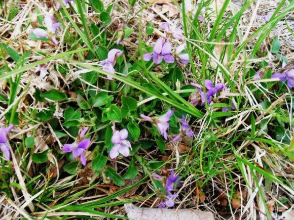 20120510 Balsamea Wildflowers - Violets 2.70958