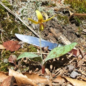 20130505 Trout Lily 3