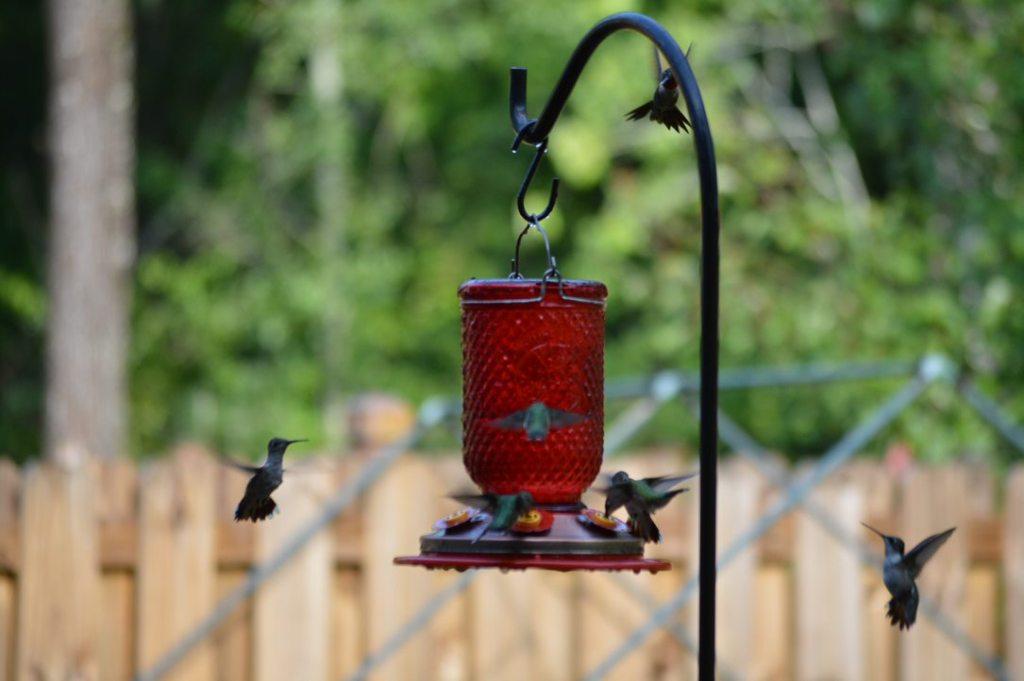 Multiple Hummingbirds Gather Around The Feeder