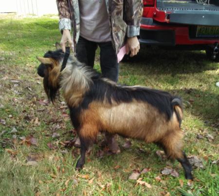 Burninluv Farm, Farms, Goat, Goat Farm, Goats