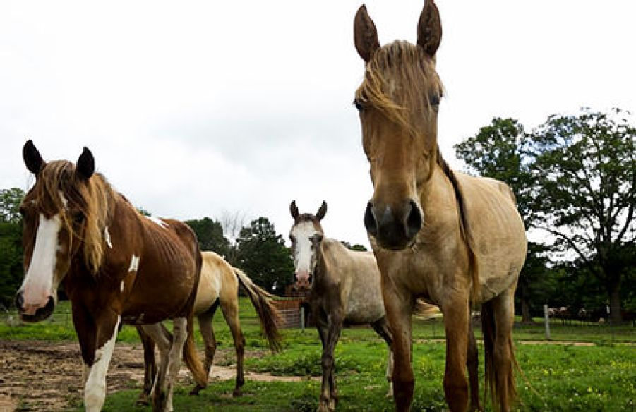 Choctaw Herd At Sacred Way Sanctuary
