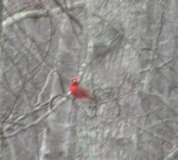 redbird.JPG