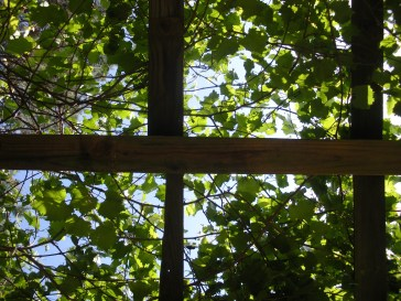 Looking up through the vines on the trellis