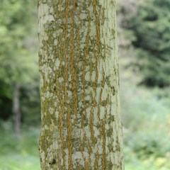 Guide to Tree Identification by Bark