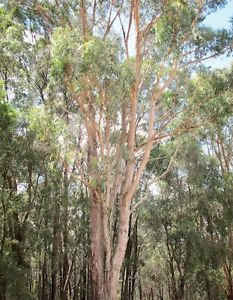 Messmate Stringybark
