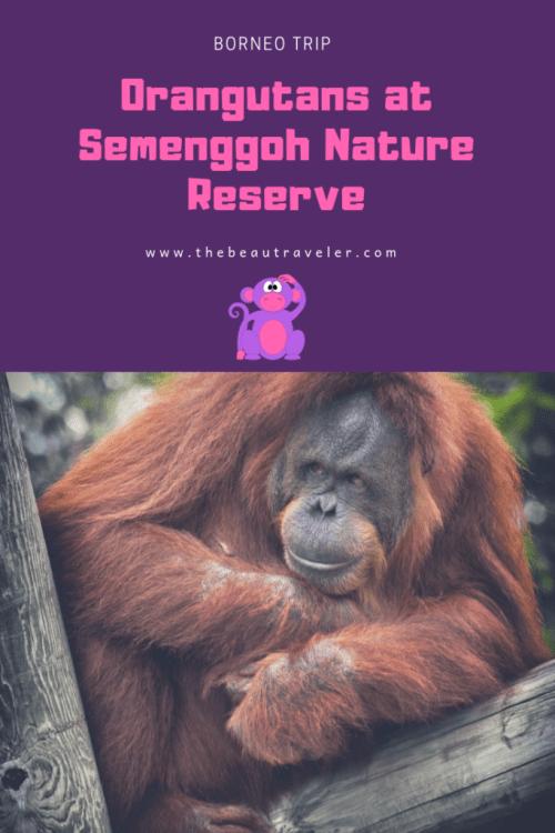 Watching Orangutans at Semenggoh Nature Reserve - The BeauTraveler