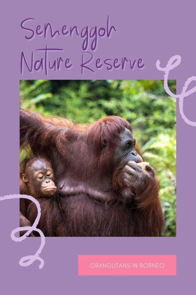 Seeing Orangutan at Semenggoh, Sarawak - The BeauTraveler