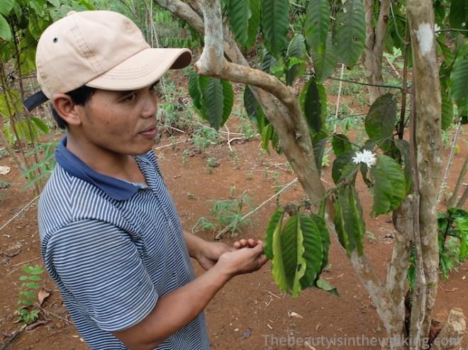 Mr Vieng dans sa plantation de café