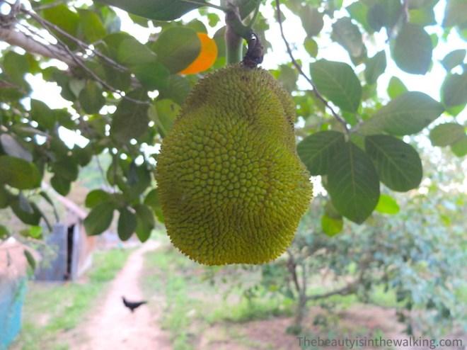 A jackfruit.