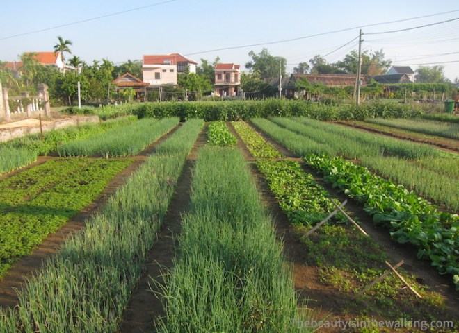 Vegetable gardens of Tra Que - Hoi an